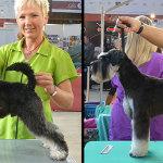 Hundesalon Margit Schönauer Zwergschnauzer vor und nach der Meisterschaft