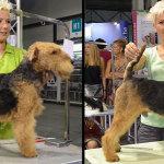 Hundesalon Margit Schönauer Welsh Terrier vor und nach der Meisterschaft