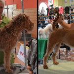 Hundesalon Margit Schönauer Irish Terrier vor und nach der Meisterschaft
