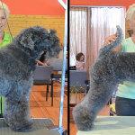 Hundesalon Margit Schönauer Kerry Blue Terrier vor und nach der Meisterschaft
