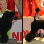 Hundesalon Margit Schönauer Kleinpudel vor und nach der Meisterschaft