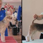 Hundesalon Margit Schönauer Lakeland Terrier vor und nach der Meisterschaft