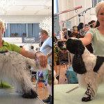 Hundesalon Margit Schönauer Englisch Cocker Spaniel vor und nach der Meisterschaft