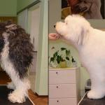 Hundesalon Margit Schönauer Bobtail vor und nach der Pflege