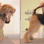 Hundesalon Margit Schönauer Airedale Terrier vor und nach der Pflege