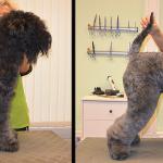 Hundesalon Margit Schönauer Kerry Blue Terrier vor und nach der Pflege