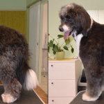 Hundesalon Margit Schönauer Aussidoodle vor und nach der Pflege