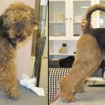 Hundesalon Margit Schönauer Airedale Tarrier vor und nach der Pflege