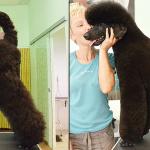 Hundesalon Margit Schönauer Großpudel vor und nach der Pflege