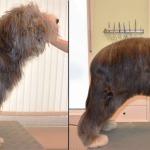 Hundesalon Margit Schönauer Bearded Collie vor und nach der Pflege