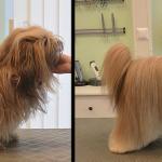 Hundesalon Margit Schönauer Lhasa Apso vor und nach der Pflege
