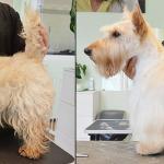 Hundesalon Margit Schönauer Scottish Terrier vor und nach der Pflege