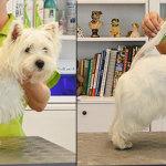 Hundesalon Margit Schönauer West Highland White Terrier vor und nach der Pflege